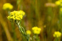 Arenarium Helichrysum στο λιβάδι Στοκ Φωτογραφίες