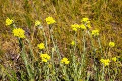 Arenarium Helichrysum στο λιβάδι Στοκ Εικόνες