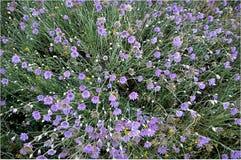 Arenarium Helichrysum Wildflowers Στοκ φωτογραφία με δικαίωμα ελεύθερης χρήσης