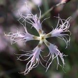 Arenarius del Dianthus (colore rosa della sabbia) Fotografia Stock Libera da Diritti