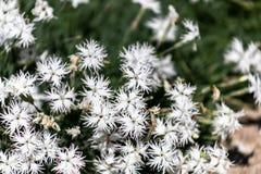 Arenarius do cravo-da-índia ou flores brancas do cravo da areia com verde imagens de stock royalty free