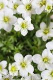 Arendsii Saxifraga (Schneeteppich), άσπρα λουλούδια βρύου Στοκ Φωτογραφία