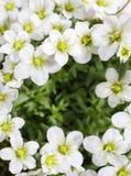 Arendsii Saxifraga (Schneeteppich), άσπρα λουλούδια βρύου Στοκ φωτογραφία με δικαίωμα ελεύθερης χρήσης