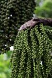 Arenga pinnata palm seed. Image of arenga pinnata palm seed stock images