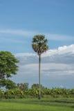 Arengapalme Baum auf Himmelhintergrund Lizenzfreie Stockfotos