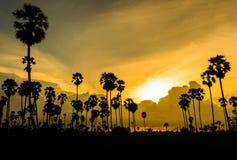 Arengapalme bei Sonnenuntergang Stockbild