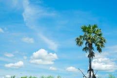 Arengapalme mit blauem Himmel des Reisfeldes stockbild
