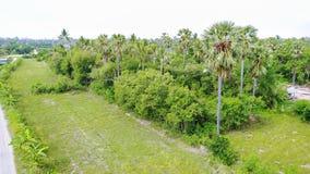 Arengapalmebäume Stockfoto
