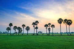 Arengapalmebäume auf Reispaddy Lizenzfreie Stockbilder