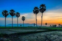 Arengapalmebäume auf Reispaddy Lizenzfreie Stockfotos