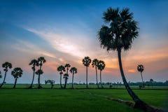 Arengapalmebäume auf Reispaddy Stockbilder