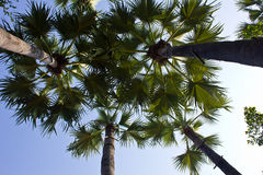 Arengapalmebaum stockbilder