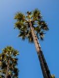 Arengapalmebaum Stockbild