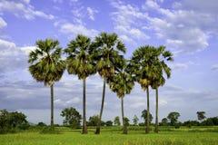 Arengapalmebaum und grünes Feld Stockfotos