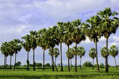 Arengapalmebaum und grünes Feld Stockfoto
