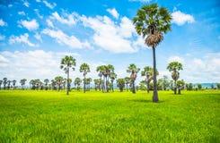 Arengapalmen und Reisfelder in Thailand Lizenzfreie Stockfotos