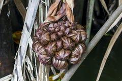 Arengapinnata is het fruit van de palmfamilie royalty-vrije stock foto