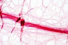 Areolar łącznikowa tkanka pod mikroskopu widokiem zdjęcie royalty free