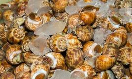 Areolata Babylonia για τα θαλασσινά Στοκ Εικόνες