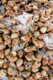 Areolata Babylonia Στοκ εικόνα με δικαίωμα ελεύθερης χρήσης
