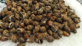 Areolata Babylonia Στοκ Εικόνα