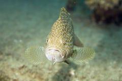 areolate grouper Στοκ Φωτογραφίες