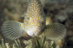 Areolate grouper Royalty Free Stock Photo