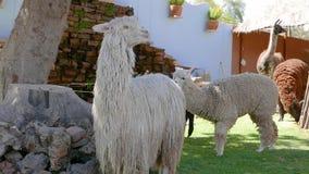 Alpacas and llamas look at camera