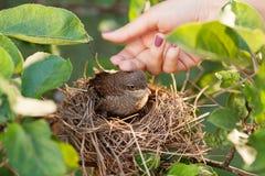 Сaress baby bird Royalty Free Stock Images