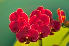 Arethusa Fotografia de Stock