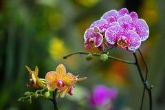 Arethusa Fotografia de Stock Royalty Free