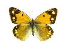 Arethusana arethusa Arkivfoto