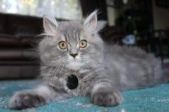 Arg kattunge för perser Arkivbilder