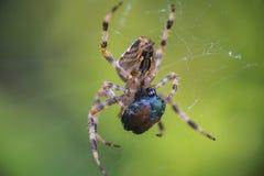 Arg matning för Orbweaver spindelmakro Royaltyfria Bilder