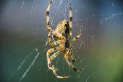 Arg Orbweaver spindelmakro Arkivfoto