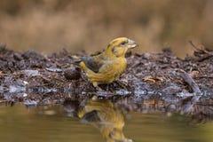 Arg räkning, Loxiacurvirostra songbird arkivfoto