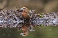 Arg räkning, Loxiacurvirostra songbird fotografering för bildbyråer