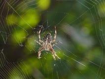 Arg spindel Arkivfoton