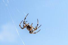 Arg spindel (Araneusdiadematusen) - trädgårds- spindel på spiderwen Fotografering för Bildbyråer