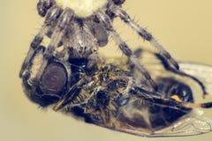Arg spindel med hans rov Spindel som äter en fluga Storen specificerar! Royaltyfria Bilder