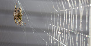 Arg spindelmakro med spindelrengöringsduk arkivbilder