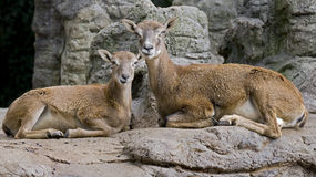 Argali 1 stock photos