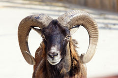 Argali Royalty Free Stock Images