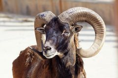 Argali stock photos