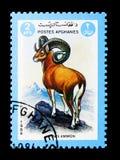 Argali- eller bergfår (Ovisammon), djurserie, circa 1984 Royaltyfria Foton