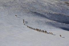 Argali Marco Polo En flock av får Marco Polo i de Tien Shan bergen, i vinter, Fotografering för Bildbyråer