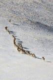 Argali Marco Polo En flock av får Marco Polo i de Tien Shan bergen, i vinter Fotografering för Bildbyråer