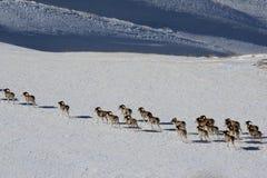 Argali Marco Polo En flock av får Marco Polo i de Tien Shan bergen, i vinter Royaltyfria Bilder