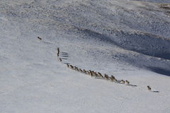 Argali Marco Polo. A flock of sheep Marco Polo in the Tien Shan mountains, in winter,  Stock Image