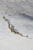 Argali Marco Polo. A flock of sheep Marco Polo in the Tien Shan mountains, in winter Stock Image